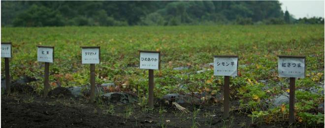 宝山芋畑の風景